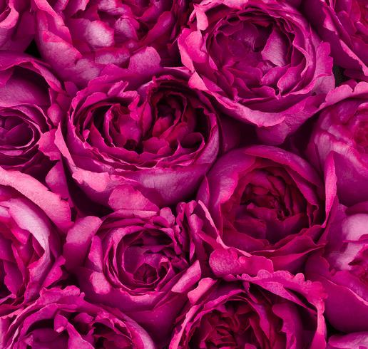 Коллекция Piaget Rose